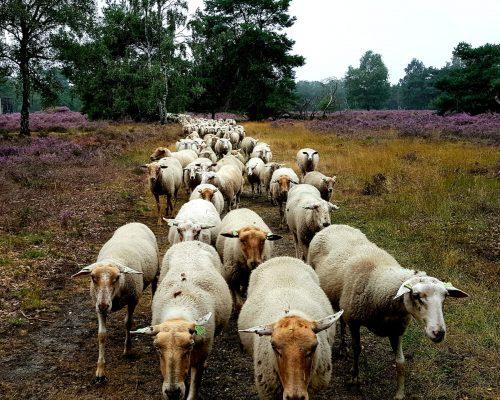 Heide Venlo schapenbegrazing